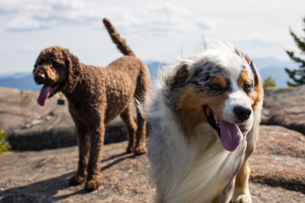 Squall and Tizzy Australian Shepherd Mount Crawford.jpg