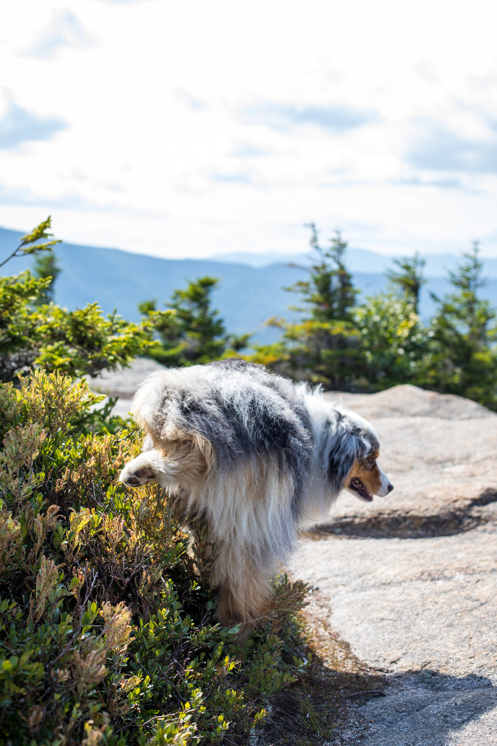 Squall Australian Shepherd Summit of Mount Crawford.jpg