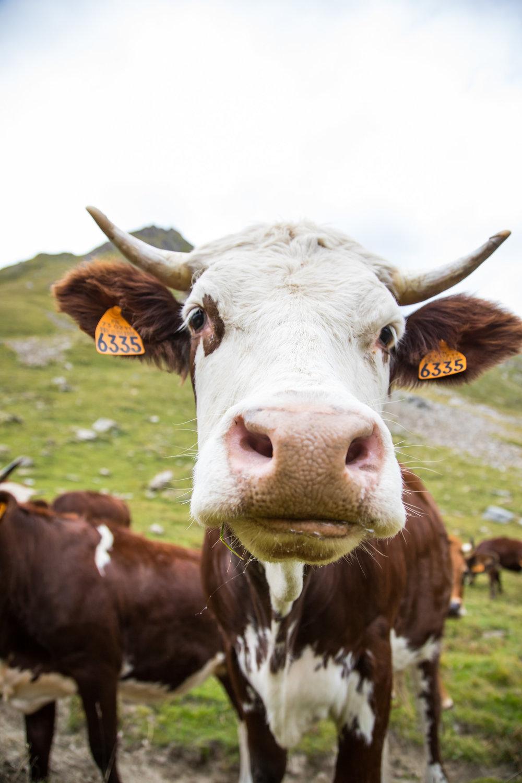 Cormet de Roselend Cows.jpg