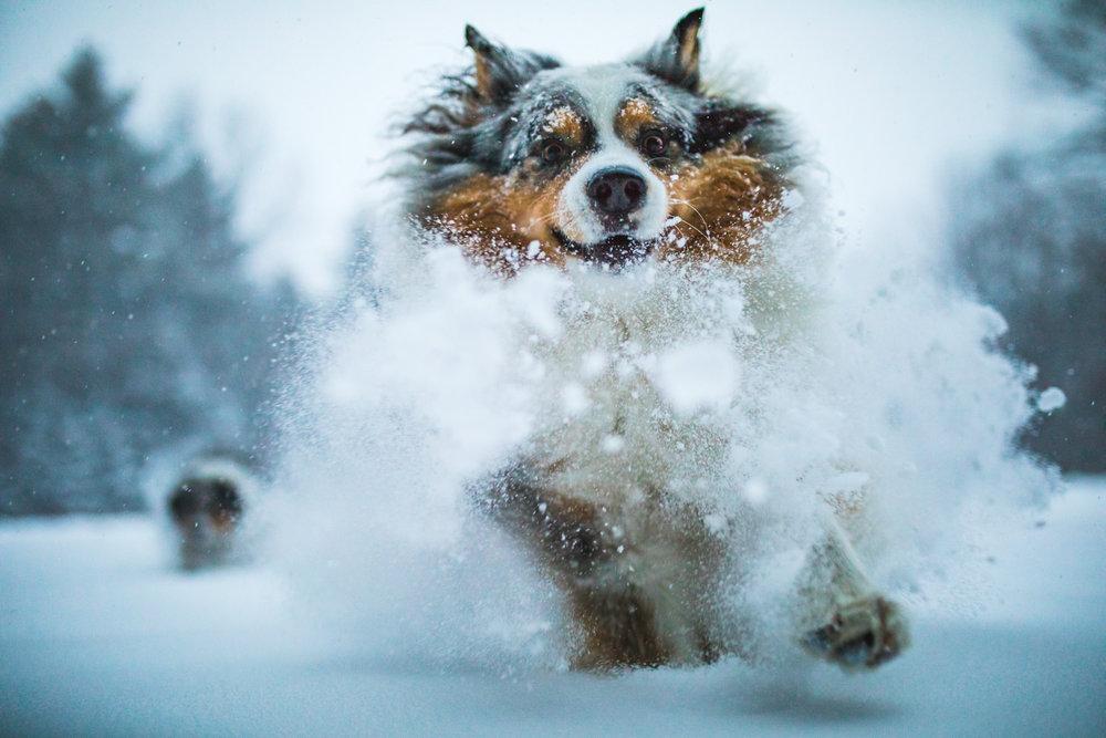 Squall Australian Shepherd Powder.jpg