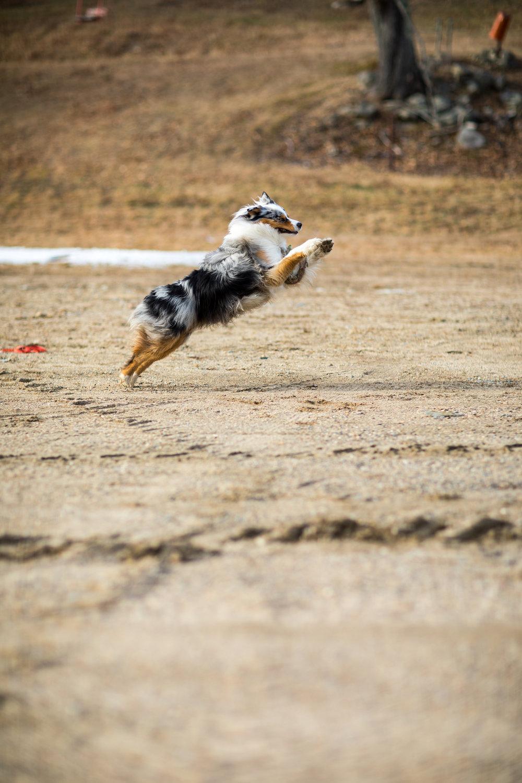 Squall Australian Shepherd Frisbee Catch.jpg