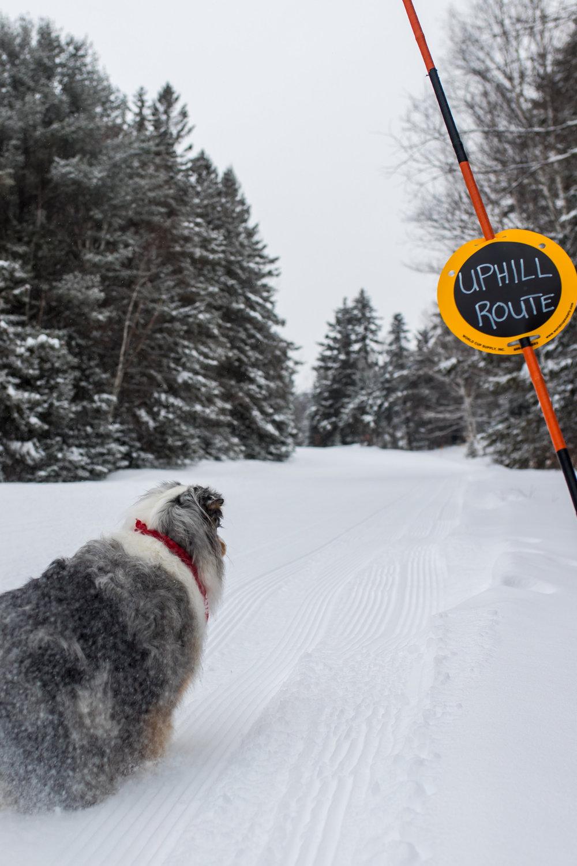 Australian Shepherd Snow.jpg