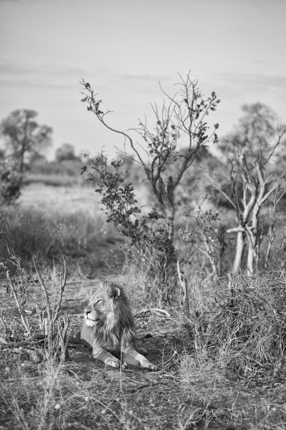 Lollygagging Lioness