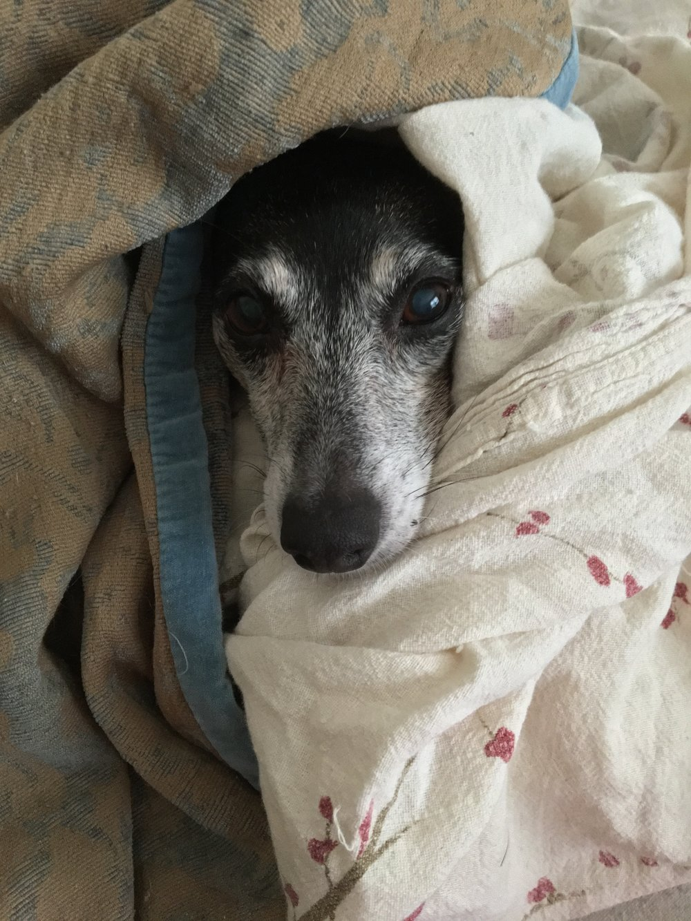 "Goldie the Rat Terrier. This is her ""Grey Gardens"" impression."