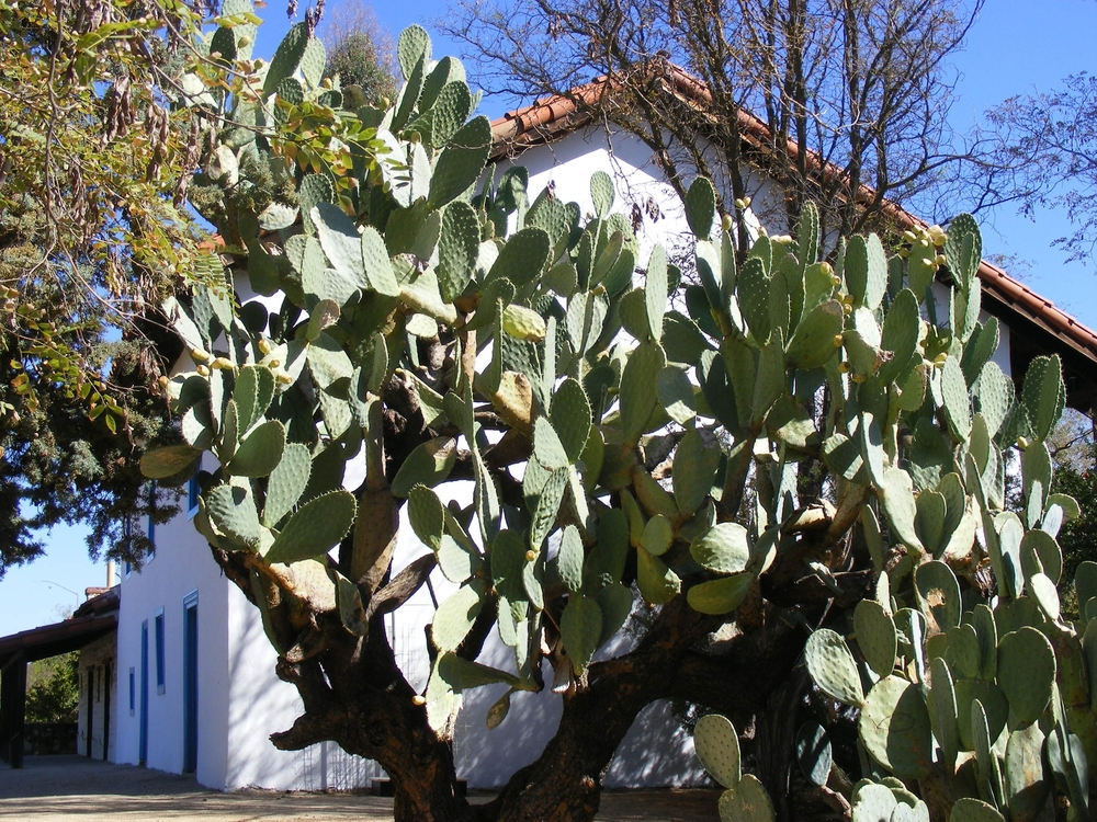 100 Year old Opuntia at Historical   Rios-Caledonia Adobe In san Miguel, CA