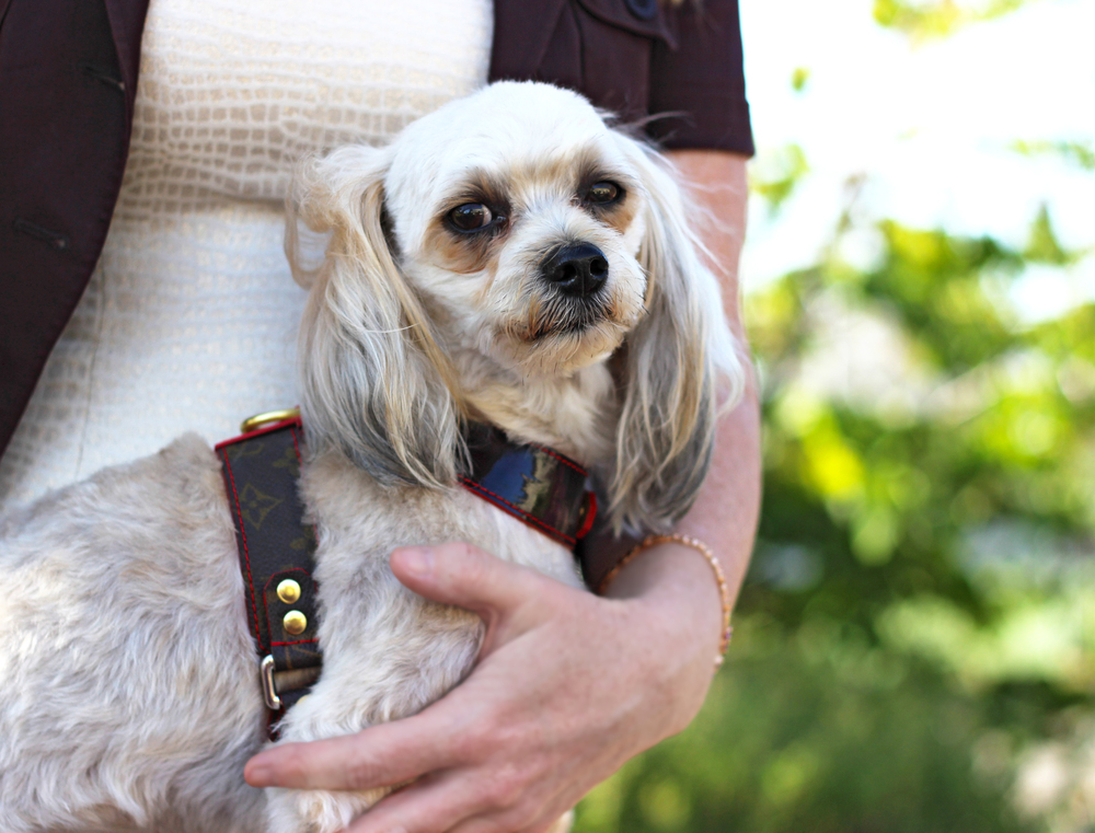 Featuring the   Louie, Louie harness  , modeled by Percy and Yvonne Larson,  The Neck-Work Expert , styled by Rachel Klewicki