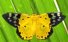 Dysphania sagana  , the  yellow moth