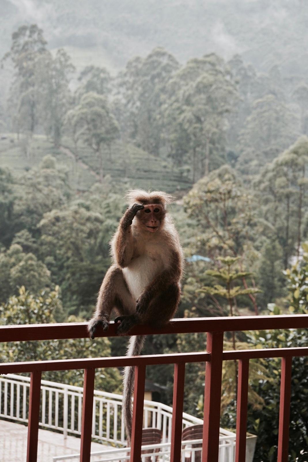 sri-lanka-monkey