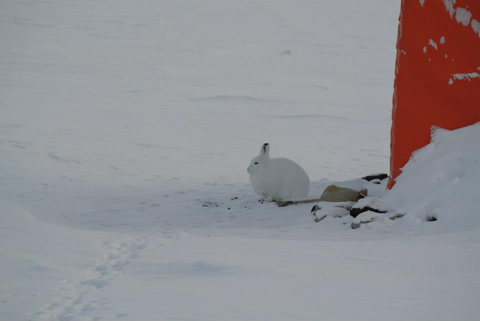 Camp visitor! Arctic hare.