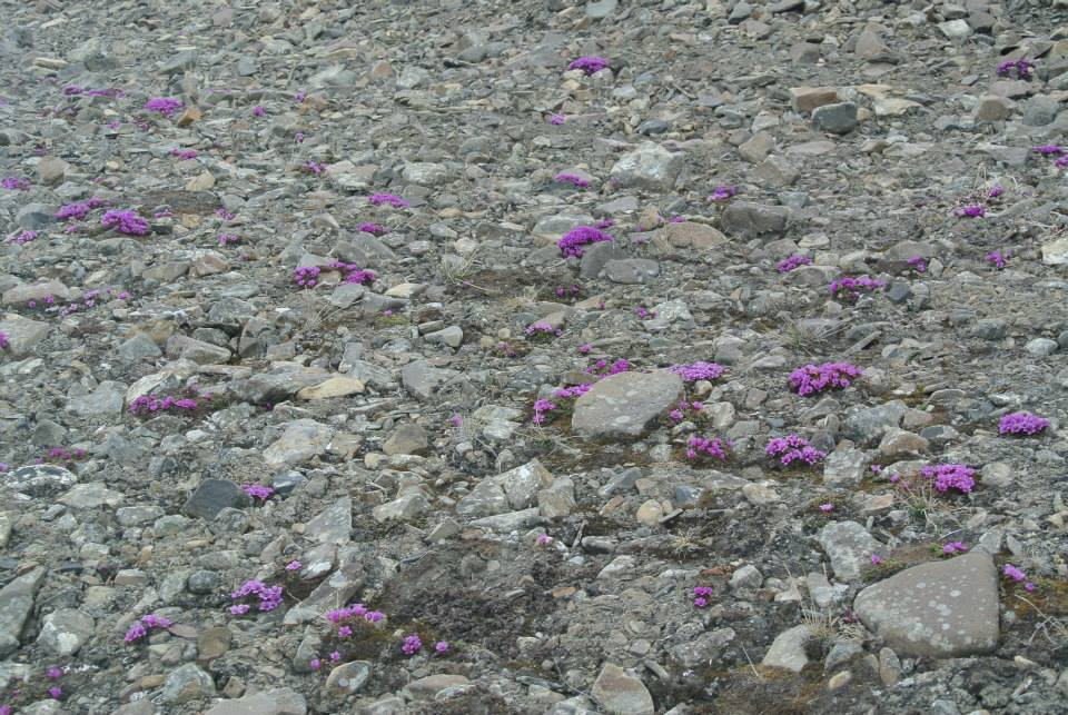 Despite Axel Heiberg Island`s harsh polar desert climate, beautiful flowers grow in summer.