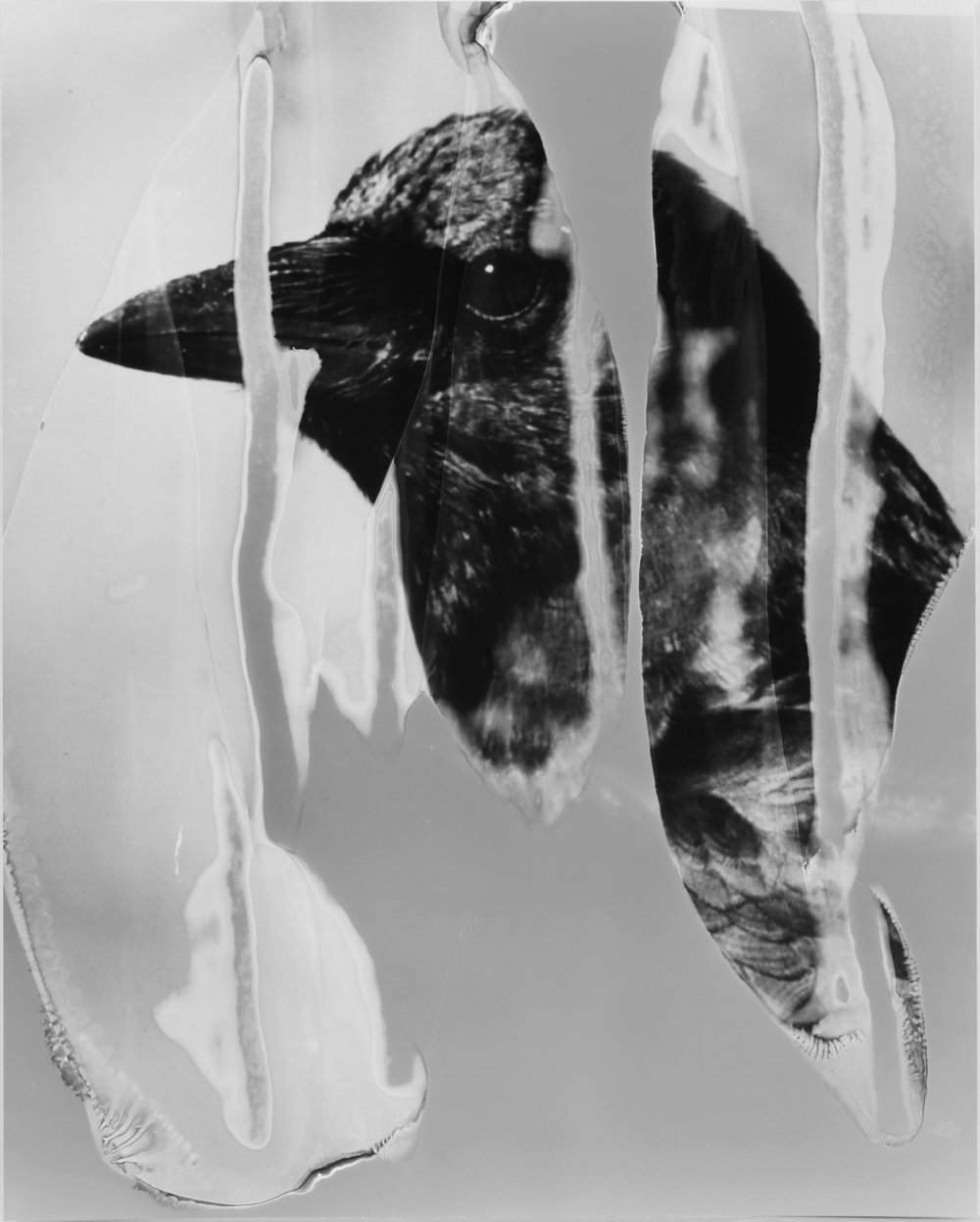 Image © Eileen Quinlan. The Crow, 2016. Gelatin silver print, 25 x 20 inches (63.5 x 50.8 cm). Courtesy of Miguel Abreu Gallery and the artist.