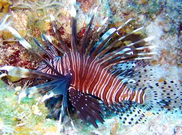 Caribbeanlionfish1.jpg