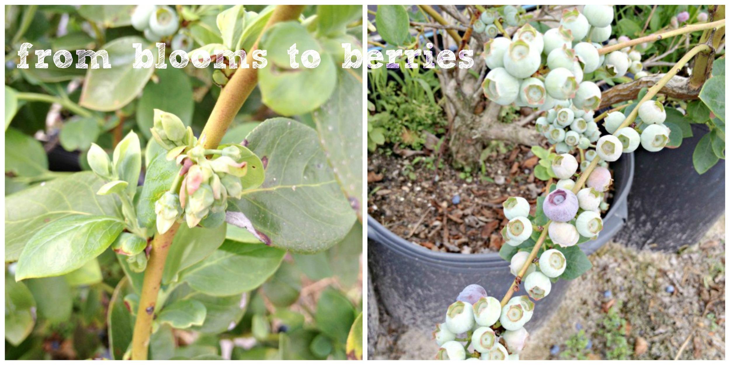berrygrow_1