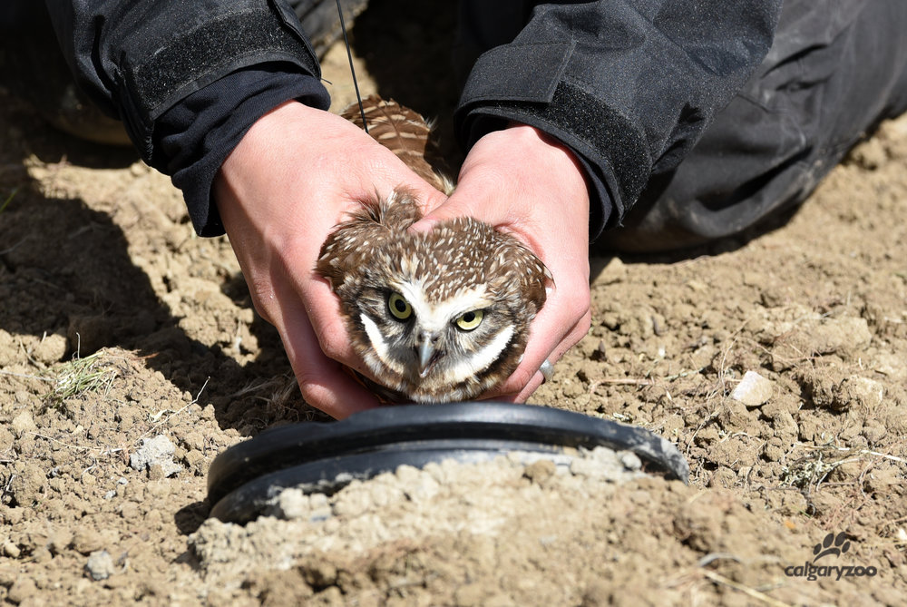 Protecting and preserving wildlife is a major way in which conservation happens in Alberta. Often this can take form of species reintroduction, in which animals are raised in captivity and then later reintroduced into the wild. The Centre for Conservation Research at the Calgary Zoo is well known for their species reintroduction program [Photo provided by the Calgary Zoo].