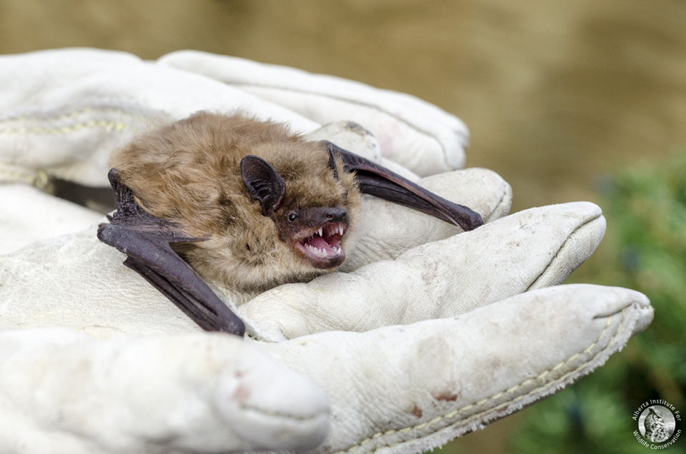 Wildlife conservation comes in more forms than just species reintroduction however. Helping and rehabilitating wild animals is equally as important. This injured brown bat seems to appreciate the help [Photo provided by the  Alberta Institute for Wildlife Conservation  (AIWC)].