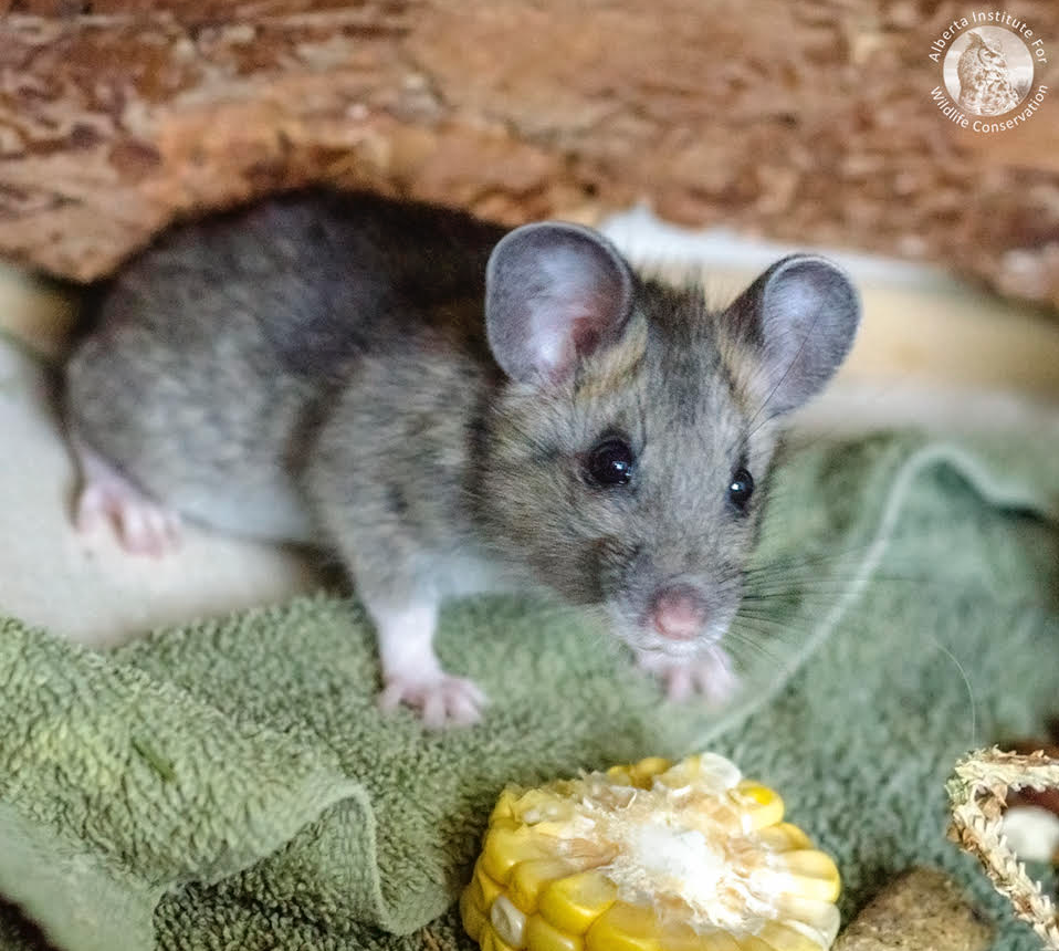 Wildlife conservation comes in all shapes and sizes. This baby Bushy-tailed Woodrat was admitted to the AIWC after being found in a truck returning from a mountain camping trip. After receiving care, the Woodrat was successfully reintroduced into the wild [Photo provided by the  AIWC ].