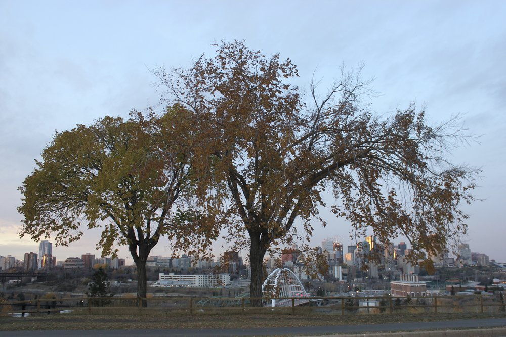Together these American Elms located on Saskatchewan drive save 1098.8 kwh of energy per year, filter 3927.8 gallons of storm water per year, and remove 1266 lbs of carbon dioxide from the air per year. YegTreeMap estimates that these two trees save 666$ a year.