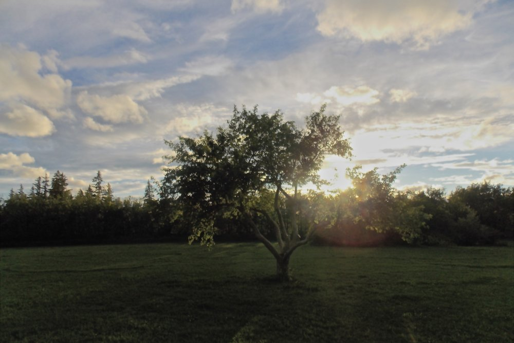 This Manitoba Maple, located along the Belgravia river valley, conserves 154.1 kwh of energy per year, filters 516.5 gallons of storm water per year, and removes 160.6 lbs of carbon dioxide from the air each year. YegTreeMap estimates that this tree saves a total of 97$ per year.