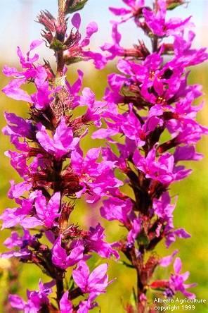 purpleloosestrife.jpg