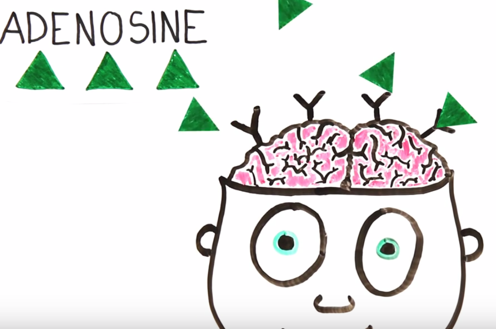 Slowly throughout the day, the body produces more Adenosine and it binds in the brain