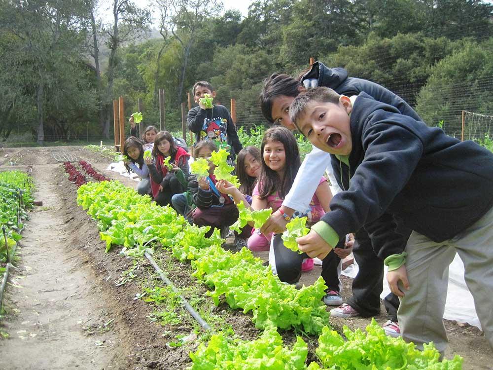 lettuce-harvest.jpg