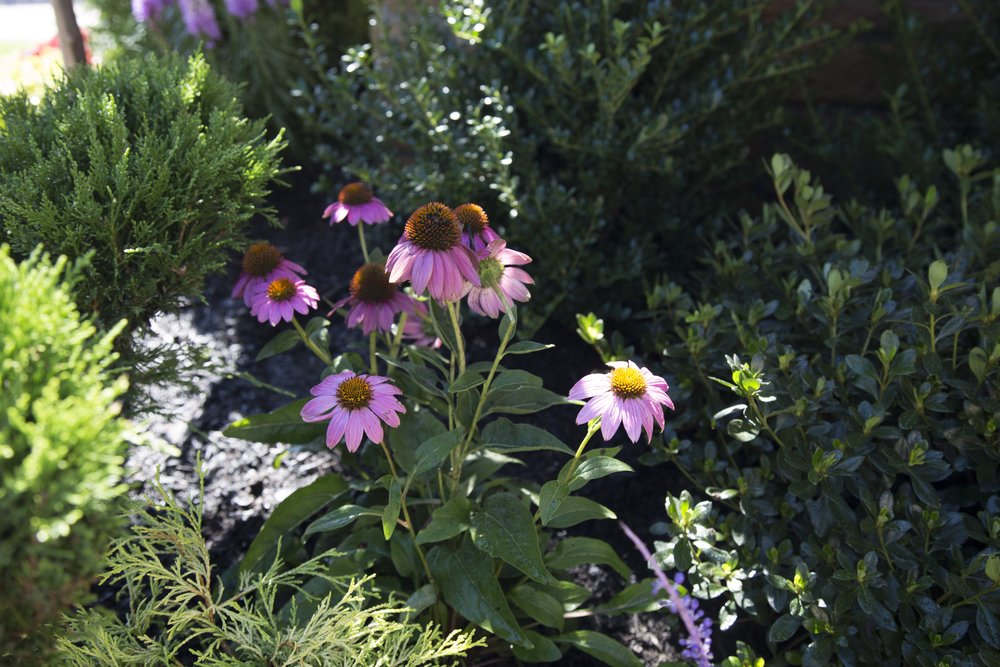 echinacea butterfly garden