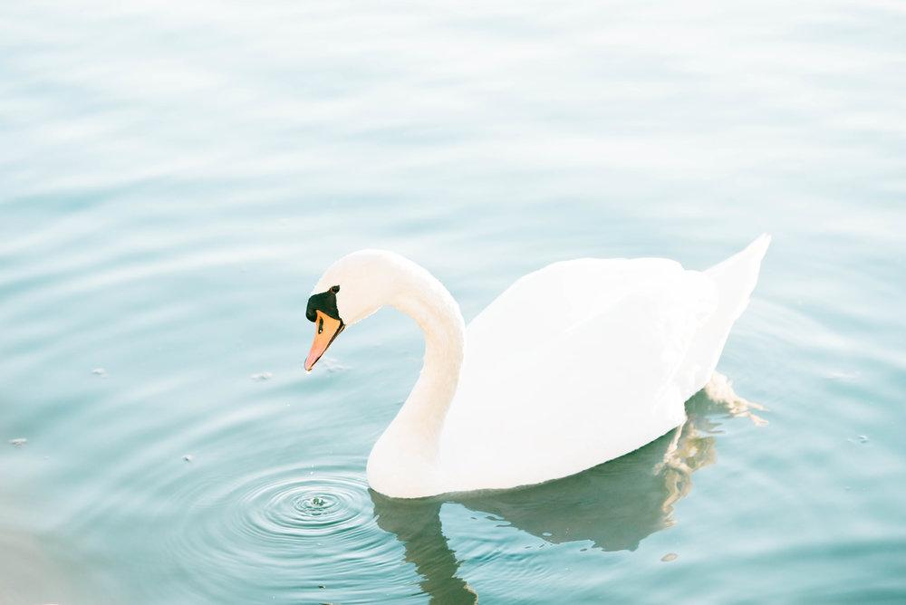 Swan-5.jpg