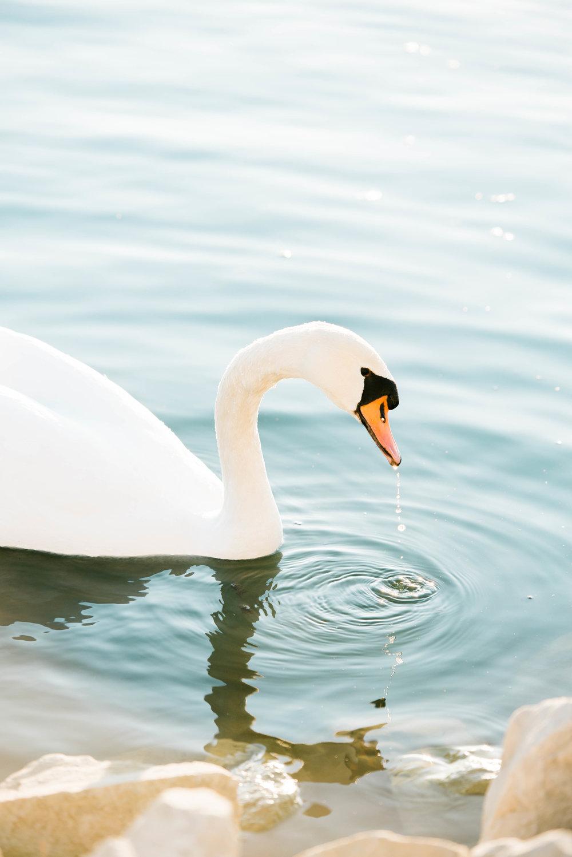 Swan-24.jpg