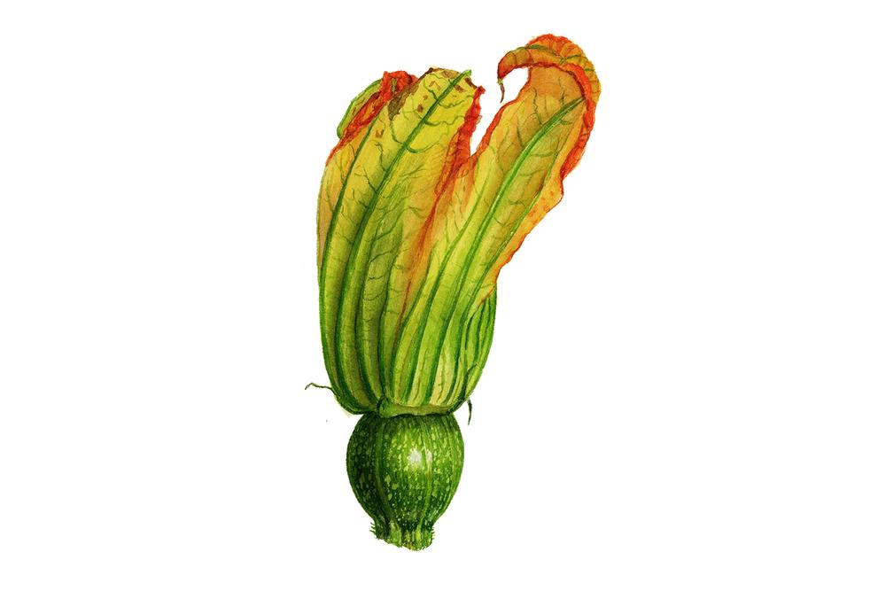 zucchiniflower.jpg