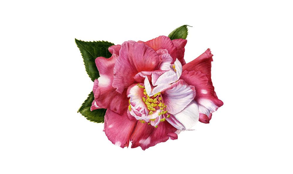 camellia_lwc 300.jpg