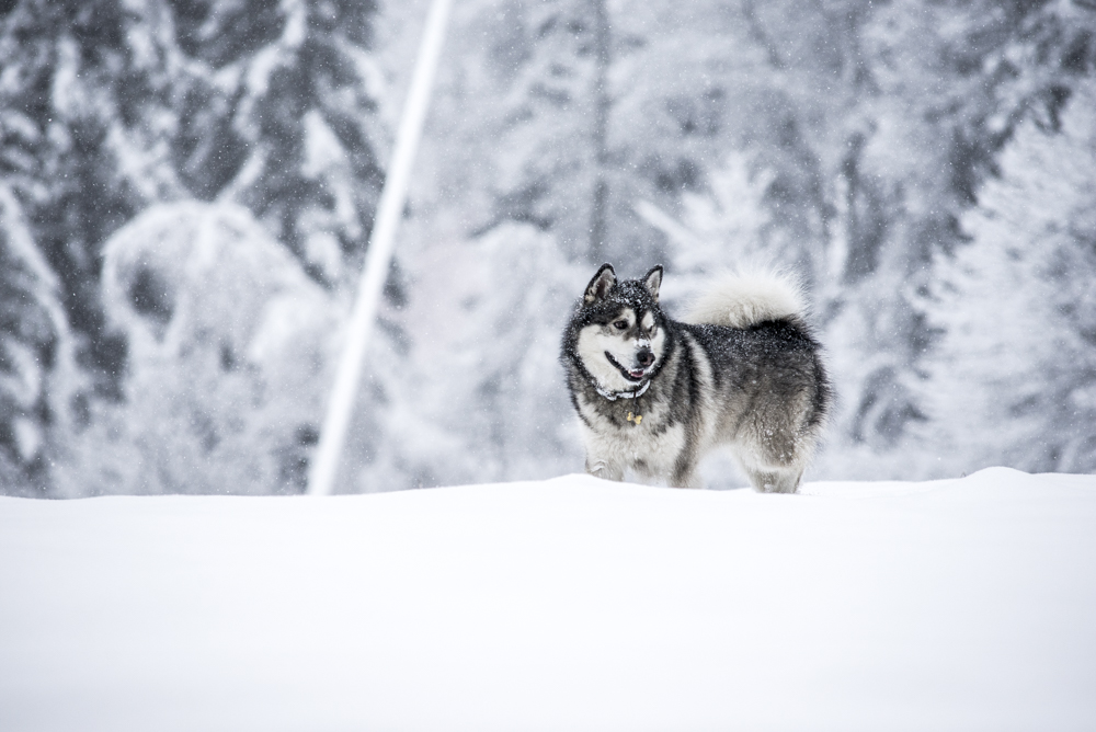 Malamute in the snow