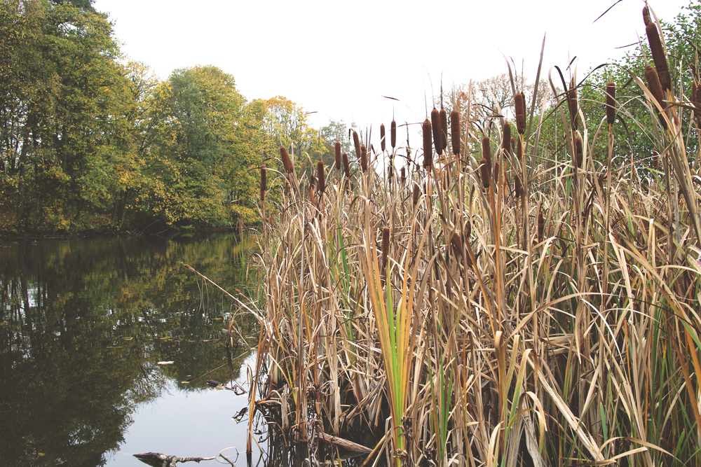 The reeds and duck pond at Lancaster University