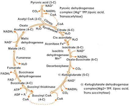 A complicated mess of reactions, AKA the Krebs Cycle AKA Citric Acid Cycle AKA Oxidative Phosphorylation AKA A Super Efficient Way to Use Glucose!!!