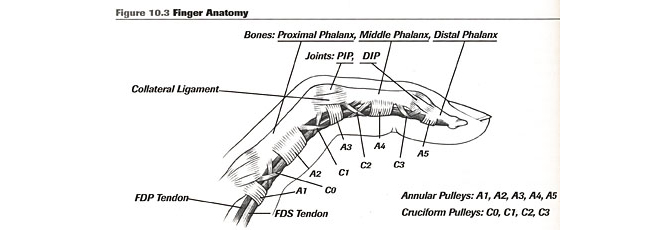 Note the 5 annular pulley tendons (A1, A2, A3, etc), one right before and right at each bend in our fingers.