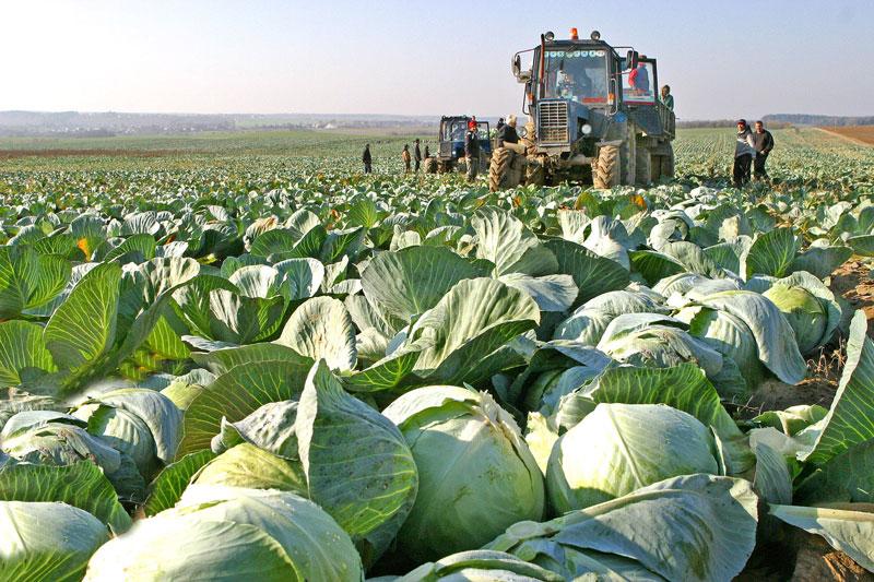 cabbage 3.jpg