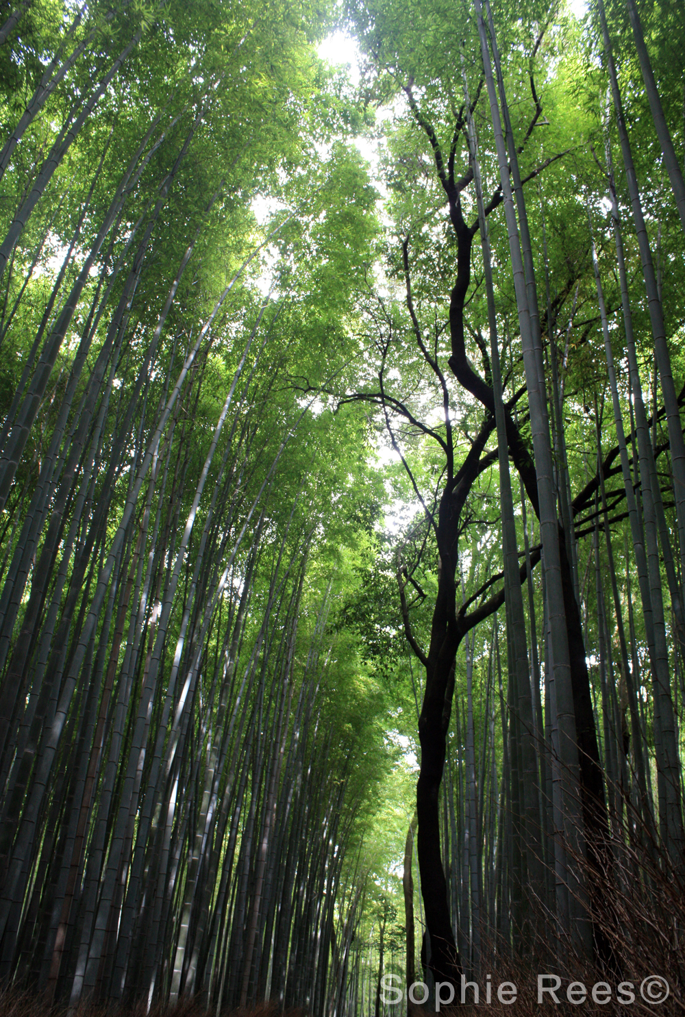 Bamboo forest, Kyoto, 2016