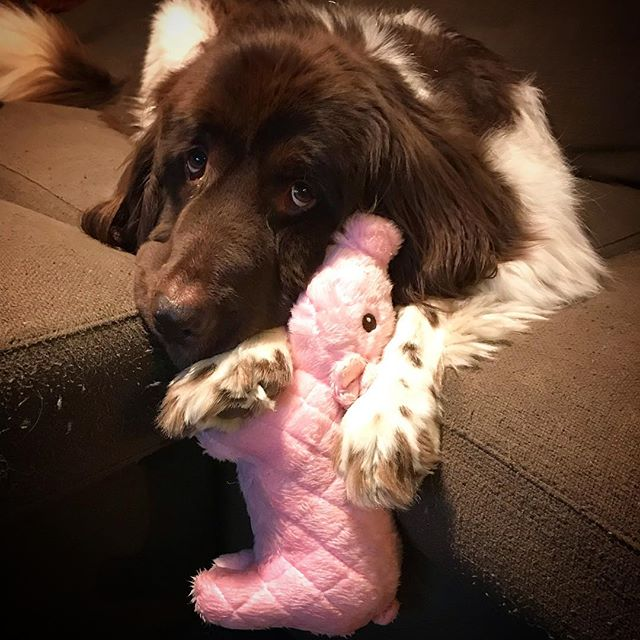 Celebrating Year of the Pig. #sirbruceofchicago #yearofthepig #gentlegiant #newfoundland #landseer #dogsofchicago #dogsofinstagram