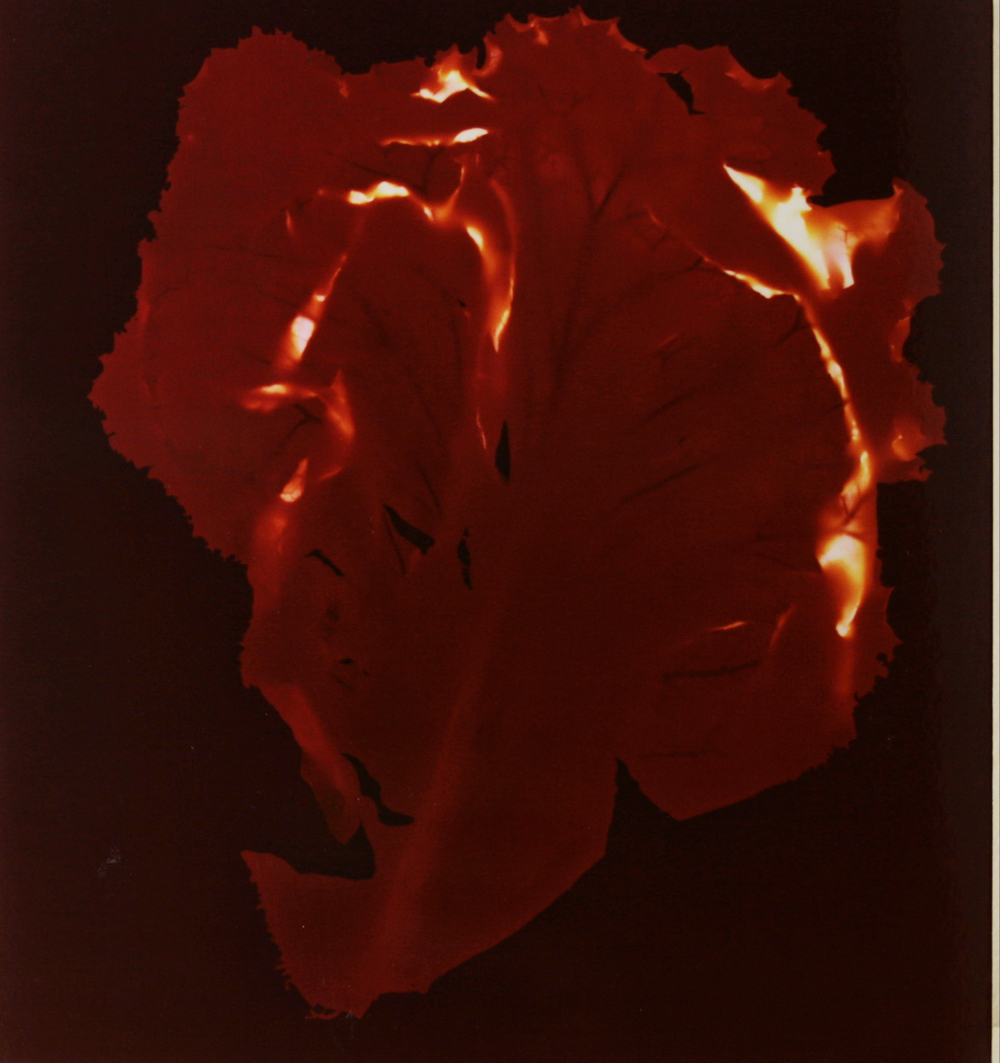 Untitled(lettuce, maroon and red) 9.5x10.25in.JPG