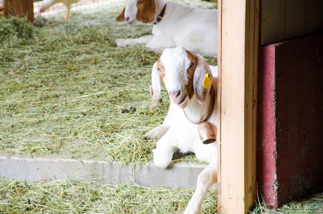 Goat Relaxing