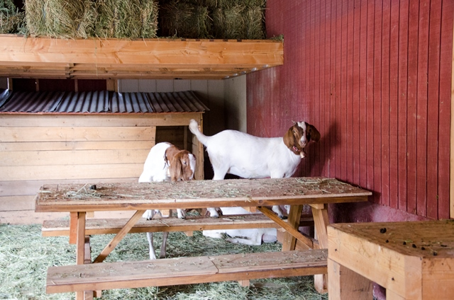 Goats on Table