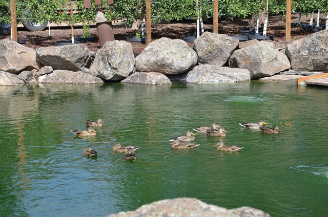 Wild ducks swimming in the pond