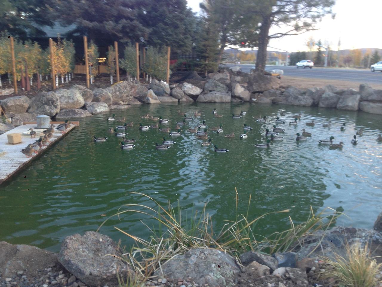 Wild ducks enjoying the BW pond