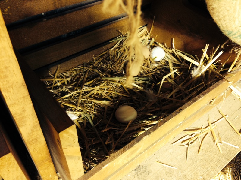 egg laying box