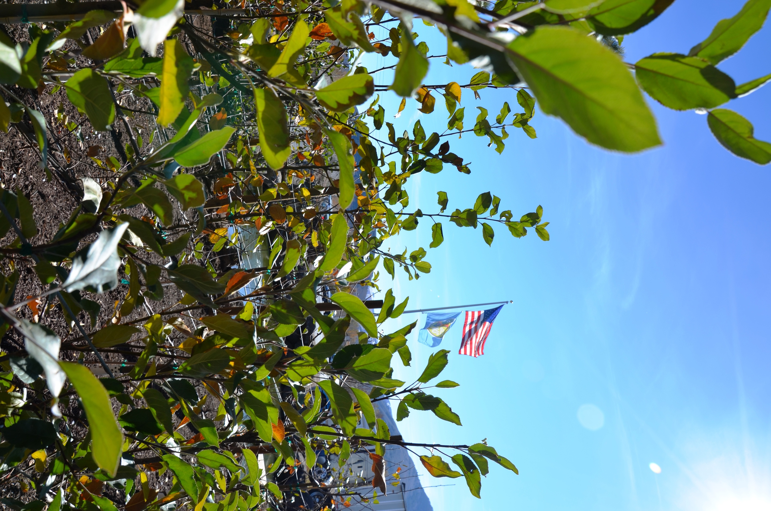 Apple trees in the Fall
