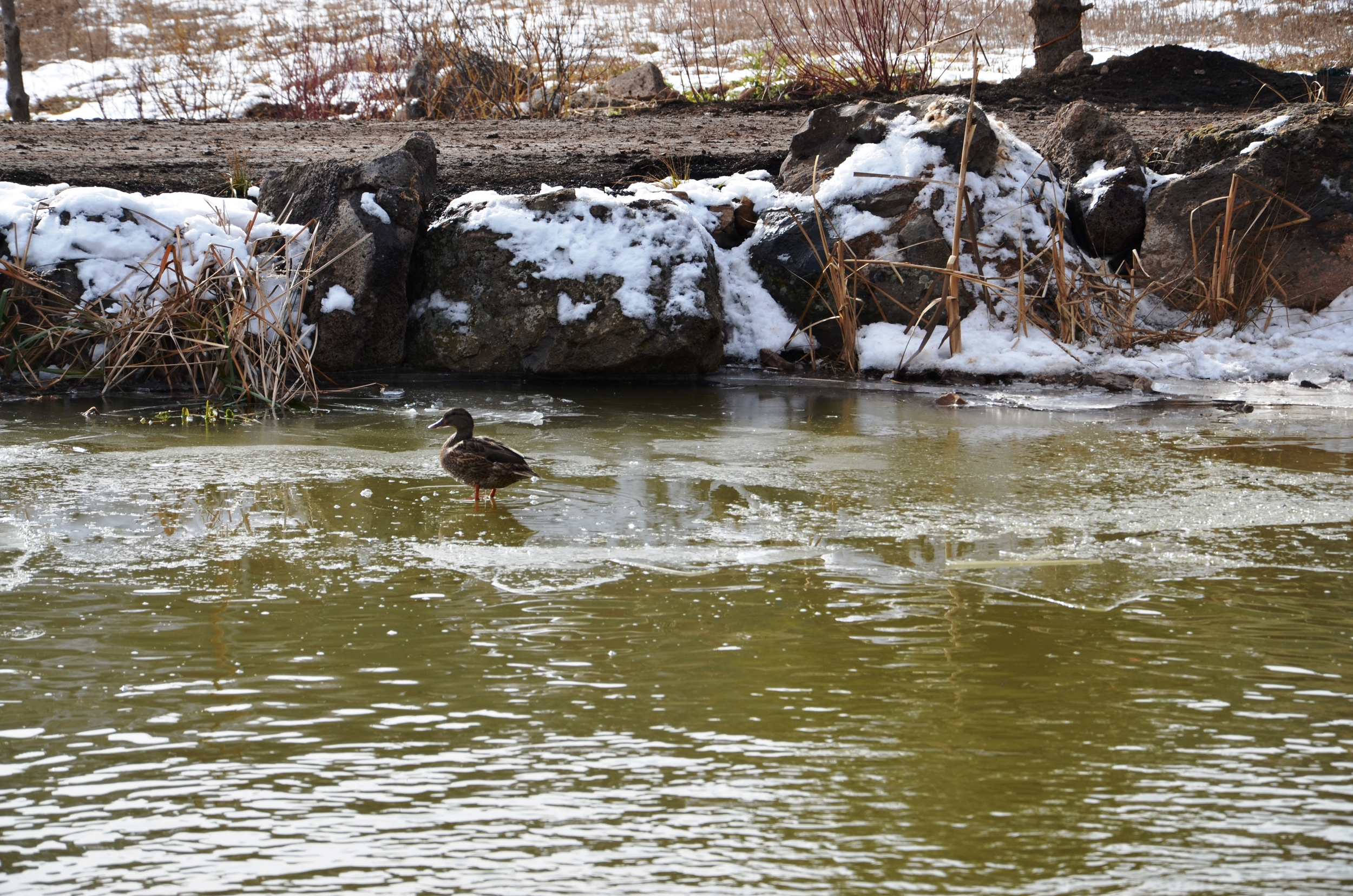 Ducks Enjoying the Half-Frozen Pond