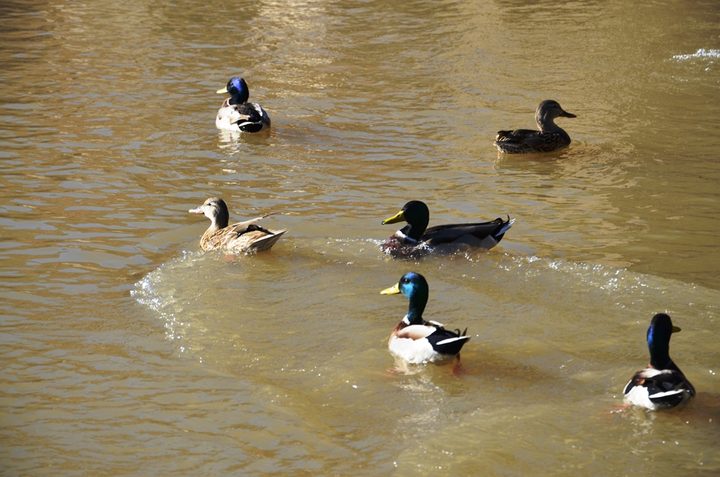 Wild Ducks at the Bill White Farm