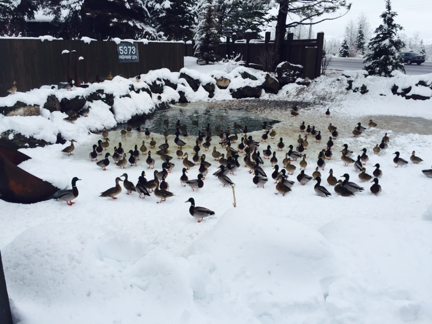 duck winter