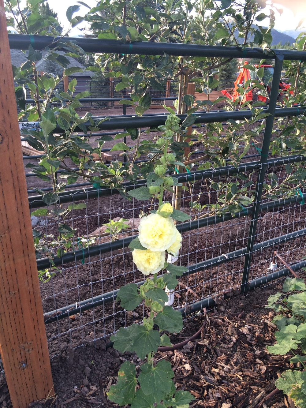Hollyhock Along Fence