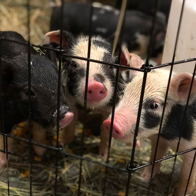 Prepare yourself for cuteness overload!  Welcome our new piglets and puppy, Beans!  Unfortunately we lost mama Beryl during their birth, but we got 7 beautiful piglets 🐽