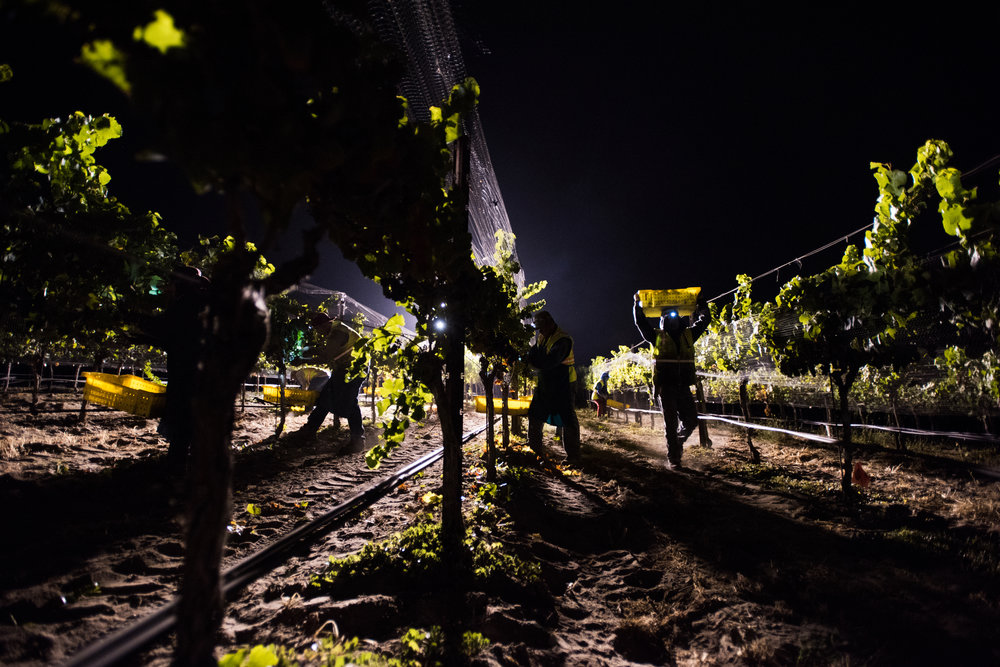 Looking down the rows during a night harvest